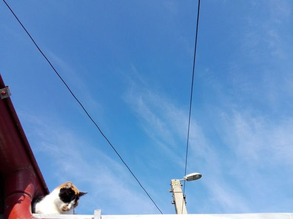 Cat On Roof Cat Selected For Premium WOLFZUACHiV PREMiUM Sky Blue Calico Cat Roof Blue Sky Cat Uppon Blue Sky Street Lamp Street Pylon Neko Pisica Adapted To The City EyeEm Selects Cable Low Angle View Sky Outdoors Animal Themes Blue Day Animals In The Wild Hanging No People Nature Mammal
