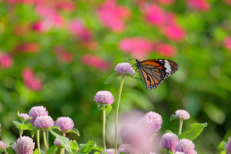Butterfly And Flowers Butterfly Flower Flower Head Butterfly - Insect Perching Pink Color Defocused Insect Purple Close-up Symbiotic Relationship