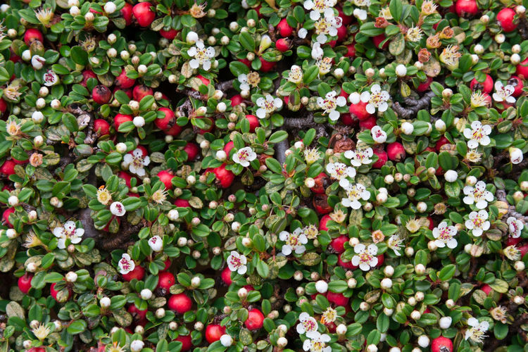 Cotoneaster bush background with red berries and white flawers Berries Cotoneaster Berries Red Botany Bush Cotoneaster Flora Flowers Shrub White