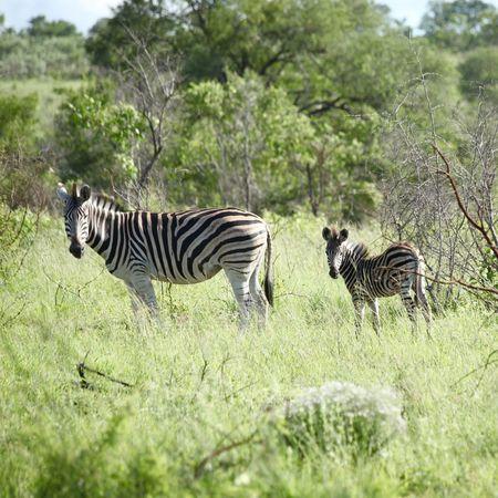 Animal Themes Animals In The Wild Krugerpark Sabi Sands Safari Safari Animals South Africa Striped Traveling Two Animals Wildlife Zebra