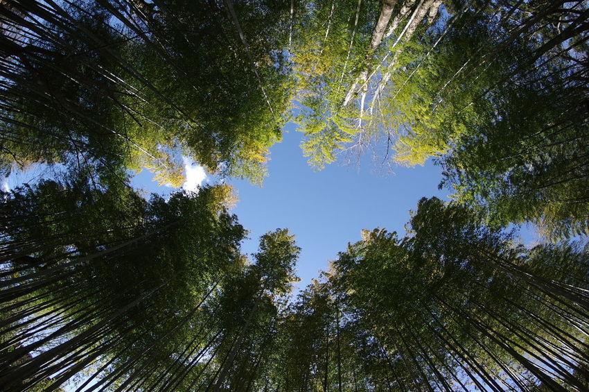 修善寺の竹林を見上げてみる Banboo 竹林 竹林の小径 Low Angle View Nature Sky Growth