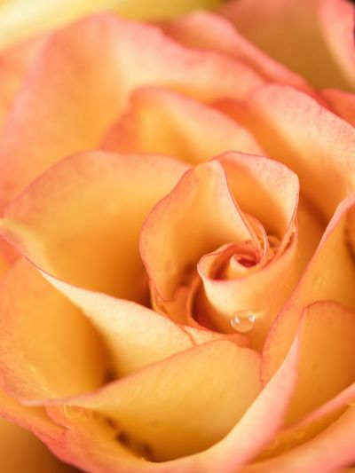 Yellow Rose🌹 Flower Flowering Plant Rosé Rose - Flower Plant Beauty In Nature Petal Fragility Vulnerability  Close-up Pink Color Flower Head Full Frame Love Growth Freshness Inflorescence Nature No People Softness
