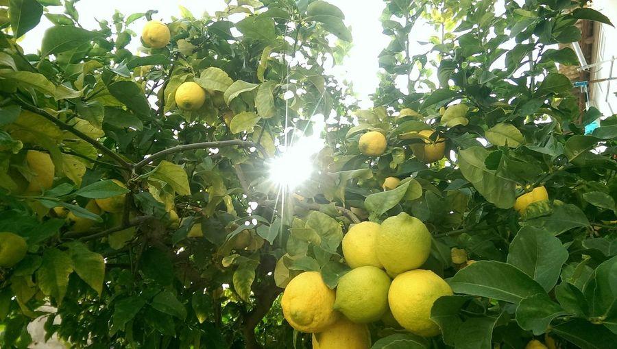 Lemon Tree Palma De Mallorca In My Garden