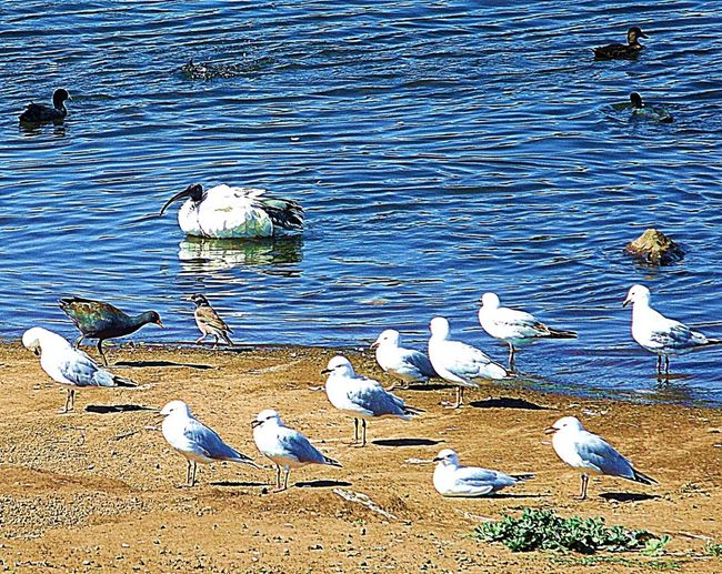 """These Seagulls must be tired. They are walking the flying """"V"""" formation. Birds Water Lake Australian Wildlife Bird Photography"""