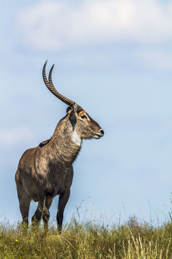 Waterbuck standing on land against sky