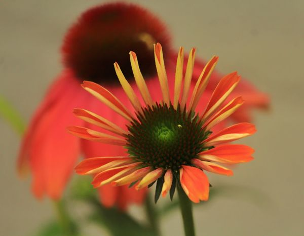 Beauty In Nature Blooming Coneflower Vibrant Colors Focus On Foreground Close-up Petal