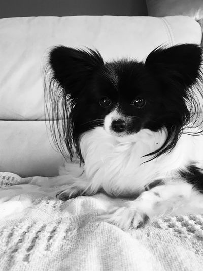 Papillon One Animal Mammal Domestic Animal Themes Pets Domestic Animals Animal Portrait Furniture No People Relaxation Lap Dog Dog Canine Looking At Camera Looking Nature Vertebrate Lying Down Day