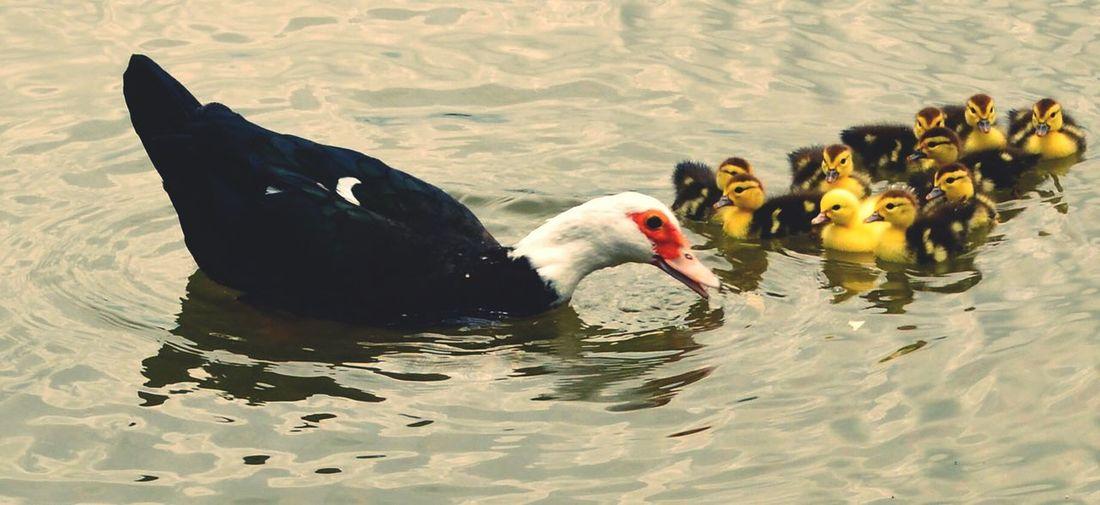 Momma Duck Baby Ducks Kidnapthecuteducklings Cuties <3 Nature