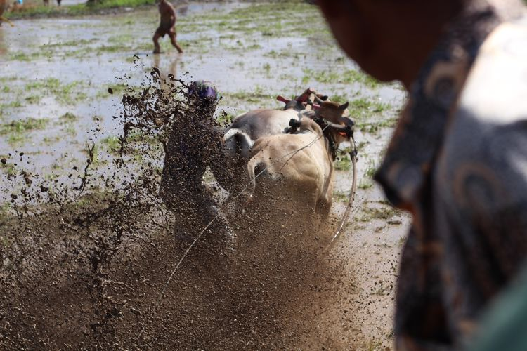 Pacu Jawi in West-Sumatra, Indonesia. Pacu Jawi Animal Themes Day Domestic Animals Field Livestock Mammal Nature Outdoors Pacu Jawi Di Sumatera Barat Real People Water West Sumatra