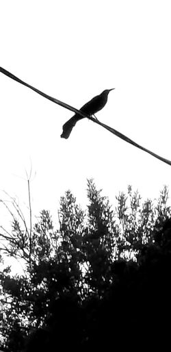 bird on a wire Silhouette Blackandwhite Nature Trees Crow Power Cable Electricity  Wire Bird Of Prey Power Supply Power Line