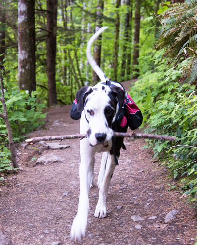 Adorable Animal Themes Backpack Beauty In Nature Cute Day Dog Domestic Animals Fetch Forest Forest Path Great Dane Harlequin Hiking Mammal Nature No People One Animal Outdoors Pet Pets Tree