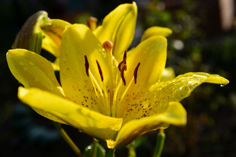 Close-up of wet yellow lily blooming outdoors