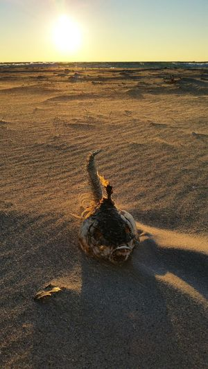 Dead fish on sand at beach during sunset