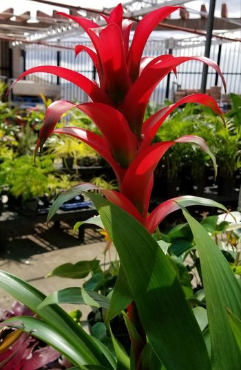Growth Green Color Plant Leaf Red No People Nature Outdoors Day Close-up Freshness EyeEm Flower Unedited EyeEm Nature Lover