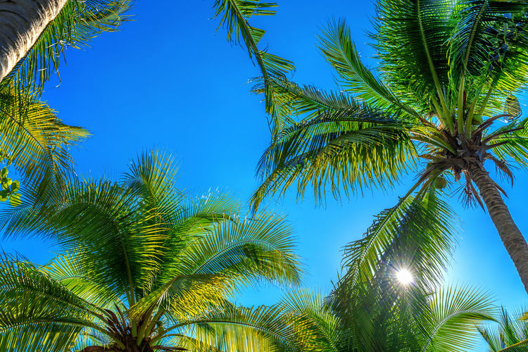 Coconut Palm trees. Tropical background. Tree Palm Tree Tropical Climate Sky Plant Low Angle View Blue Beauty In Nature Palm Leaf Leaf Tranquility Green Color Clear Sky Nature No People Growth Day Tropical Tree Plant Part Sunlight Coconut Palm Tree Outdoors Directly Below