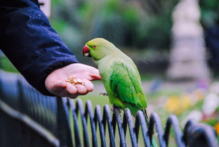 Wild parakeet in st james park being fed