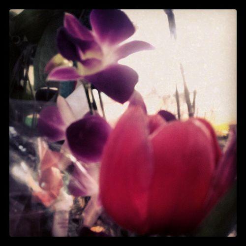 Orchid Orquídea Orquideas Tulipas tulip