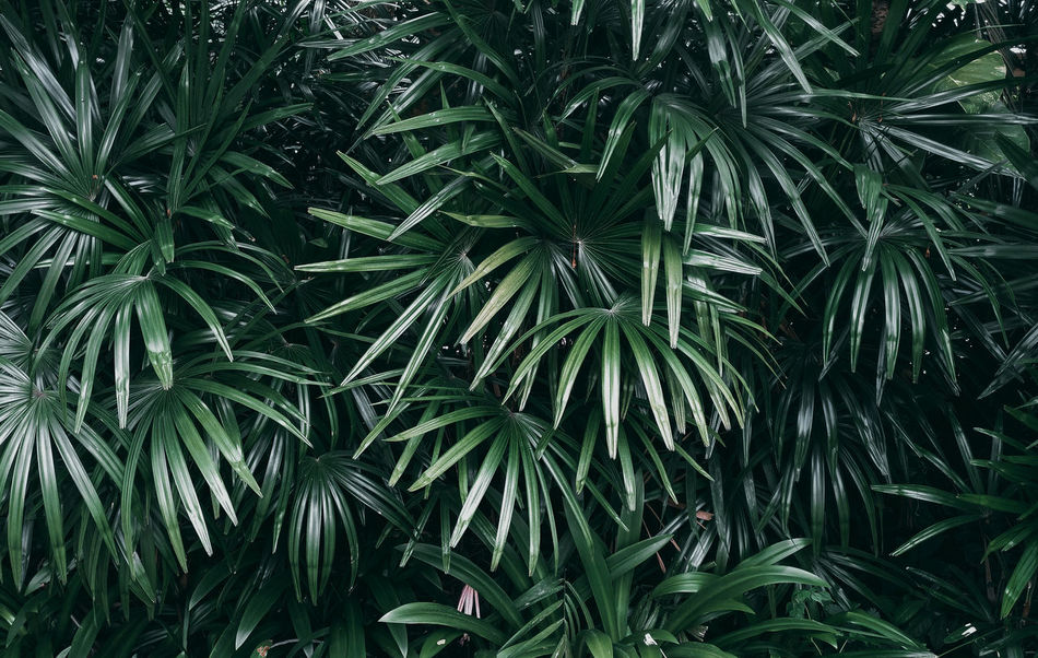 Dark Darktone Backgrounds Beauty In Nature Close-up Day Foliage Forest Freshness Full Frame Green Color Growth Land Leaf Lush Foliage Nature No People Outdoors Palm Tree Plant Plant Part Season  Summer Tranquility Tree
