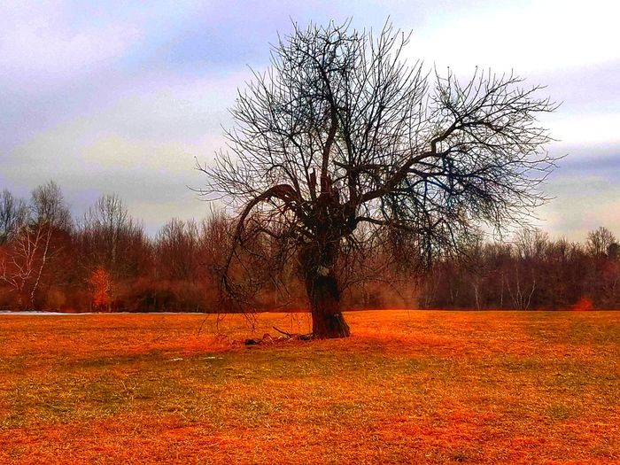 Tree Nature Sunset Growth Sky No People Outdoors Beauty In Nature Day Tree Bare Tree Orange Color Field