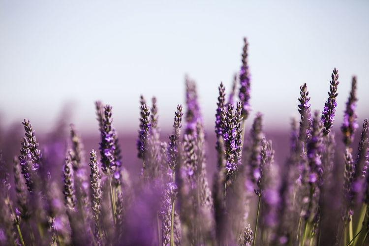Avignon Canon Flower Flowers Lavender Nature Outdoors Purple Selective Focus