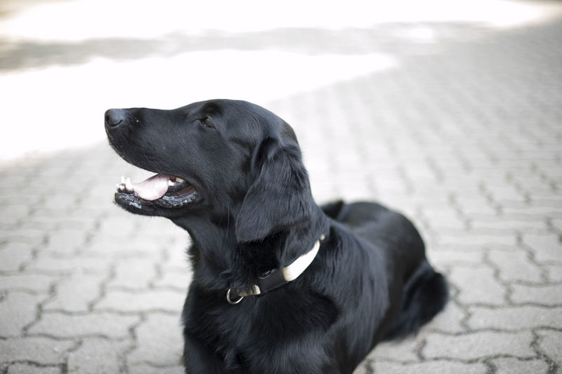 Flat-Coated Retriever Flat-Coated Retriever Animal Themes Black Color Close-up Day Dog Domestic Animals Mammal One Animal Outdoors Pets