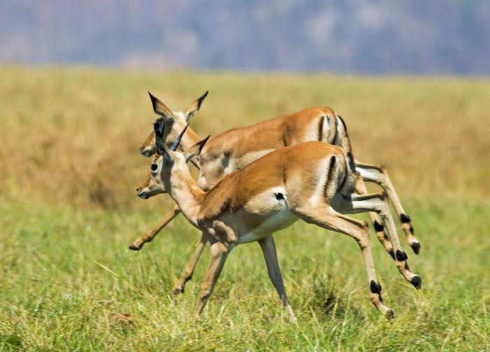 Impalas running on grassy field at hwange national park