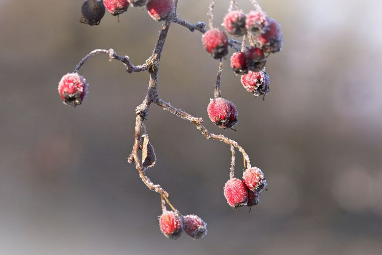 Berry Fruit Fruit Focus On Foreground Close-up Healthy Eating Branch Winter Red Beauty In Nature Cold Temperature Nature Frozen Ice Natural Beauty Beautiful Nature Frosty Mornings Frozen Nature Cold Winter ❄⛄ Bokeh Nature Photography Naturelovers EyeEm Nature Lover Eye4photography  Frost Frosty