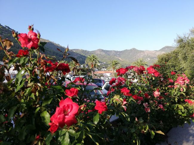 Mijas, Málaga Flower Head Flower Mountain Poppy Red Tree Springtime Flowerbed Clear Sky Blossom