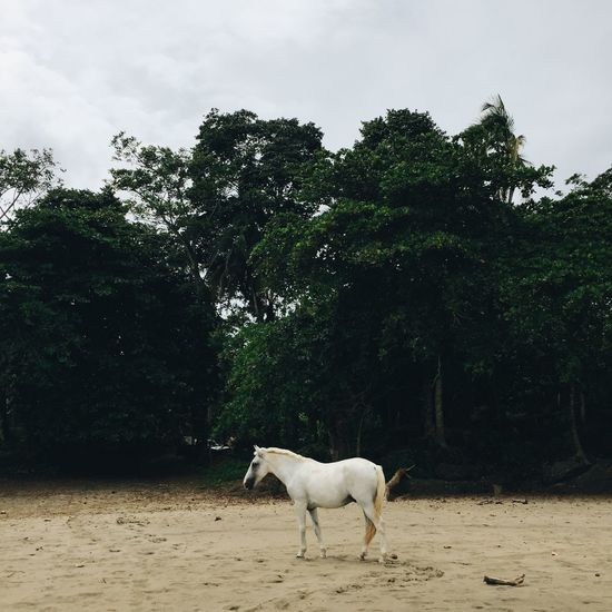 Wild white horse on a deserted white beach in Puerto Viejo, Limón, Costa Rica. Costa Rica Horses Square Animal Themes Beauty In Nature Day Domestic Animals Field Full Length Growth Horse IPhoneography Landscape Livestock Mammal Mobile Photography Nature No People One Animal Outdoors Pets Sky Standing Travel Destinations Tree