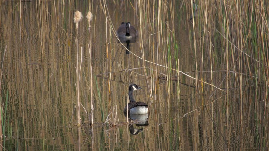 Animal Themes Animals In The Wild Bird Day Grass Growing Lake Nature No People Outdoor Photography Outdoors Water Water Reeds Wild Geese Wildlife