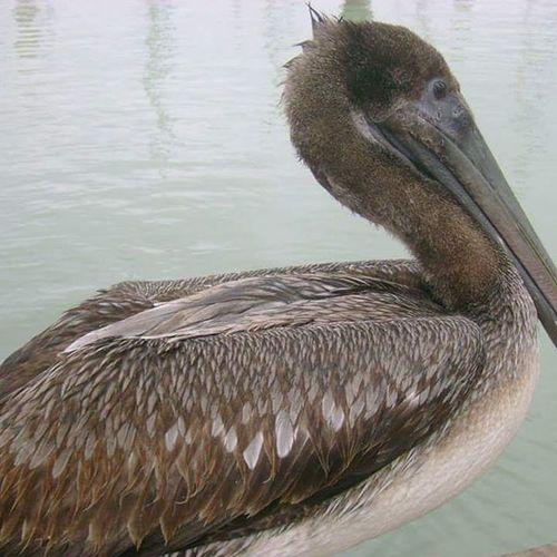 Corpus Christi, Tx Pelican