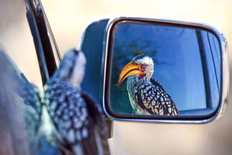 Reflection of bird in side-view mirror of car
