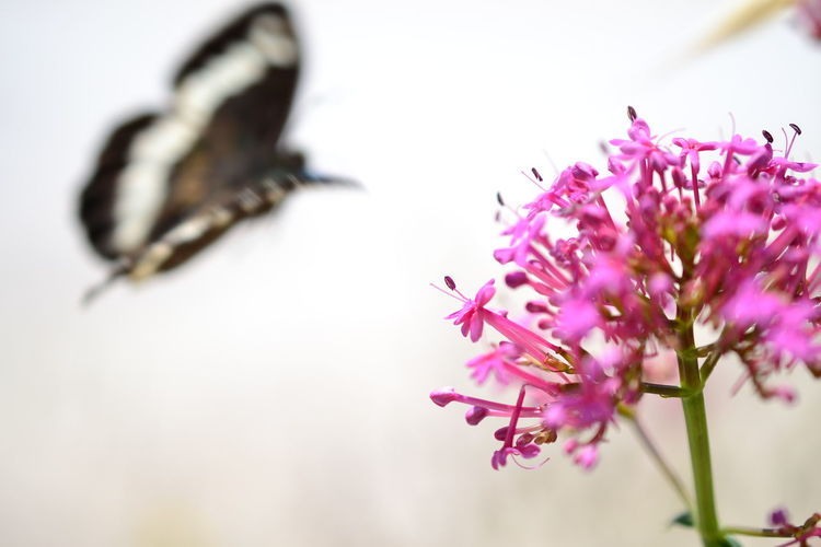 Animal Themes Animals In The Wild Beauty In Nature Butterfly Butterfly Collection Close-up Day Flower Flower Head Fragility Freshness Great Banded Grayling Growth Insect Nature No People One Animal Outdoors Petal Pink Color Selective Focus White Background