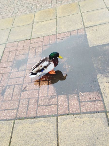 City duck Duck Puddle Rain Town Mud City Duck Quackers Reflection Reflections Show Us Your Takeaway! Adapted To The City
