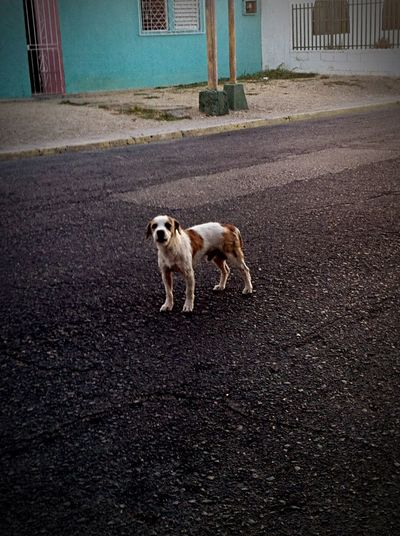 Street Dog... From Cumaná-Venezuela Cumanagoto Don't Lie First Eyeem Photo