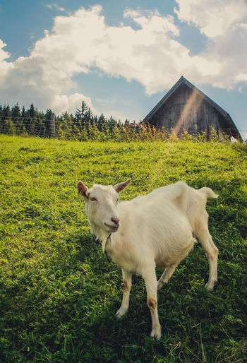 Animal Animal Themes Architecture Beauty In Nature Building Exterior Cloud - Sky Day Dog Domestic Animals Field Grass Landscape Livestock Mammal Nature No People One Animal Outdoors Pasture Pets Sheep Sky Tree