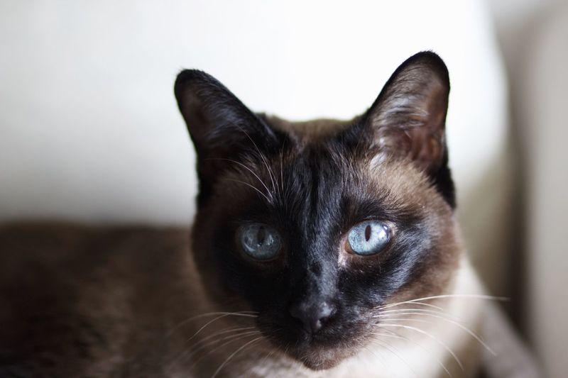 Blue eyed cat Blue Eyed Cat Eye Animals Cat♡ Cat Lovers Natural Light Portrait Pet Portraits