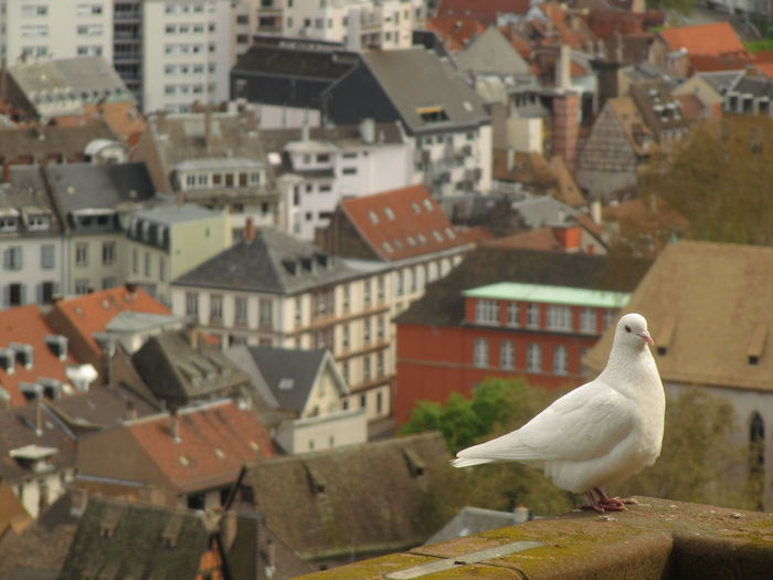 white pigeon, cathédrale Animal Animal Themes Animal Wildlife Animals In The Wild Architecture Bird Building Building Exterior Built Structure City Day Focus On Foreground House No People One Animal Outdoors Perching Residential District Roof Seagull Vertebrate White Pigeon