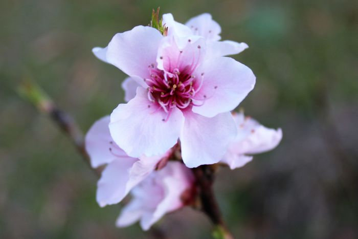 Spring 2018 Wildflowers and Blooms Peach Blossoms Beauty In Nature Blooming Close-up Day Flower Flower Head Fragility Freshness Growth Nature No People Outdoors Petal Pink Color Plant