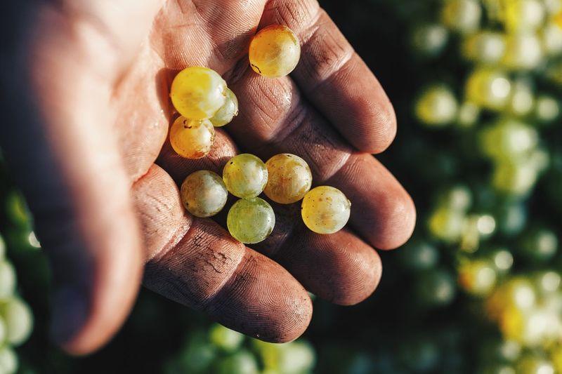 What we living for Vendanges Producer Vineyard Harvest Hand Fruit Vscocam Grape Terroir Champagne Harvest Chardonnay Grandcru France Freshness