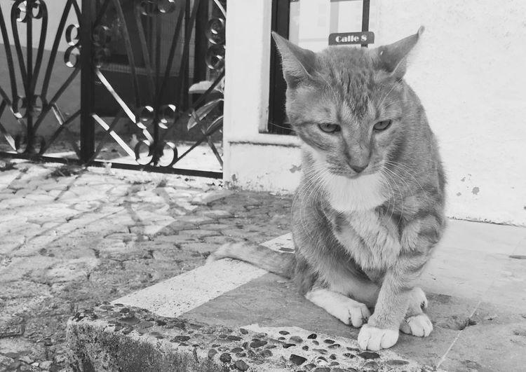 Mammal Pets Cat