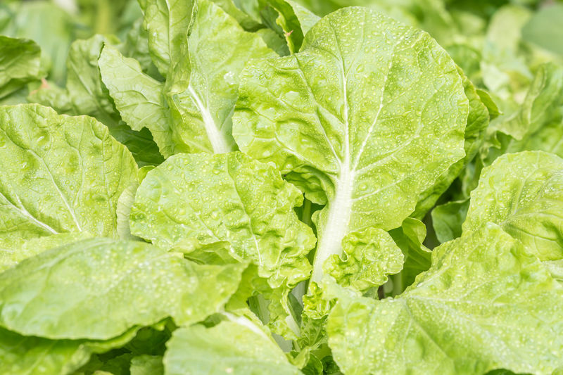 Macro image of fresh Chinese cabbage, with water cultivation. Cabbage Close-up Day Dieting Food Freshness Full Frame Green Color Growth Healthy Eating Leaf Leaves Lettuce Nature No People Organic Outdoors Plant Plant Part Raw Food Vegetable Wellbeing