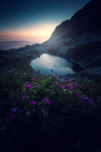 Purple flowering plants by mountains against sky during sunset