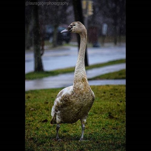 But what even are you? AspiringPhotographer Nikonphotography Nikon Nikon_photography Instagood Newyork Animal Duck Doesitquack Nature Naturephotography Animalphotography Longisland Whatareyou Birds Rain RainyDays