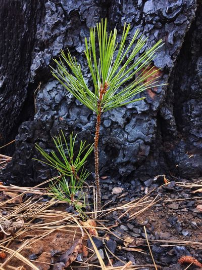 IPhoneography Ponderosa Pine Seedling New Growth Forest Tree Deschutes National Forest IPS2015Trees New Life IPS2016Nature