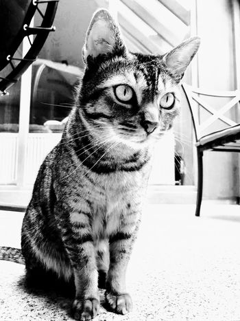 Black & White Black And White Blackandwhite Blackandwhite Cat Lovers Cat♡ Cat Cats Of EyeEm Mammal Vertebrate One Animal Pets Domestic Animals Domestic Sitting Indoors  Portrait Cat Feline Close-up Whisker Looking