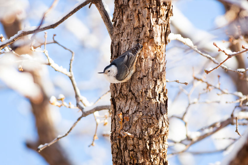 Nuthatch in winter Animals In The Wild Tree Trunk Tree Animal Wildlife Bird Nature Branch One Animal No People Outdoors Bird Photography Fine Art Photography Fine Art Nuthatch White Breasted Nuthatch White-breasted Nuthatch White Snow Winter Wintertime Maxwell Canyon