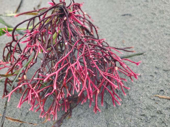Bright pink sea weed on the sand Sea Vegetation Shapes Bright Pink Day High Angle View No People Outdoors Nature Close-up EyeEmNewHere
