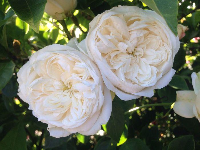 Fair Bianca-David Austin Rose-My All Time Favorite Rose-taken tonight 14may-from my garden-redleft.weebly.com Fair Bianca White Roses