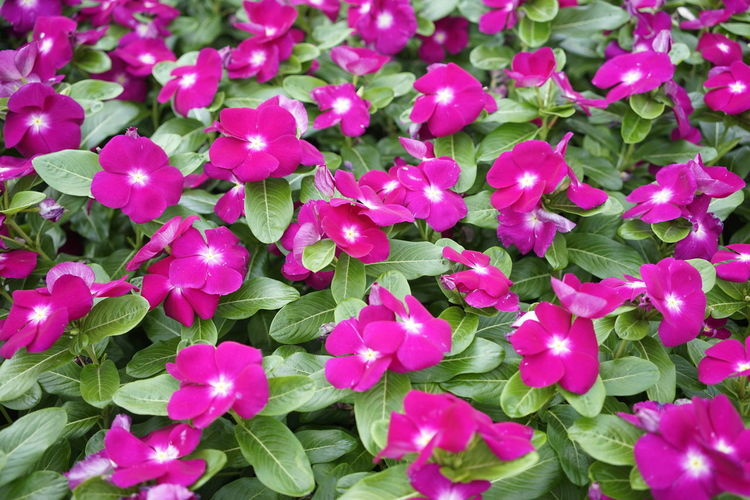 Catharanthus roseus, commonly called periwinkle, Madagascar periwinkle or annual vinca at Sagamihara Prefectural Park. Catharanthus Roseus Sagamihara Annual Vinca Beauty In Nature Blooming Close-up Flower Flower Head Freshness Growth Leaf Madagascar  Nature Outdoors Periwinkle Pink Color Plant Purple White